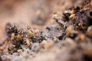 Termites cost treatment