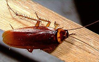 How to kill roaches